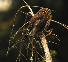 NORTHERN PYGMY OWL EATING A PRAYING MANTIS by Michael Beers