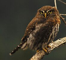 NORTHERN PYGMY OWL by Michael Beers