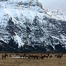 Elk Herd at Waterton by Alyce Taylor