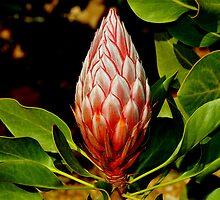 Protea VI by Tom Newman