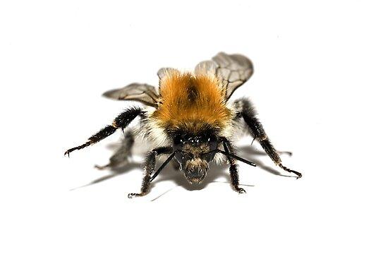 Common Carder Bee by Priska Wettstein