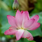 The Lovely Lotus - Mareeba Wetlands by Jenny Dean