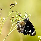 Black Butterfly by bettyb