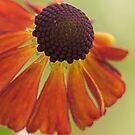 Helen's Flower 'Moerheim Beauty' by Sarah-Jane Covey