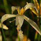 Morning bloom 4 - dew on flower by Philip Alexander