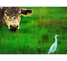 you gotta love a cow and his egret : Charolais Cattle  Photographic Print