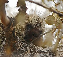 Porcupine in a Tree by Ron Kube