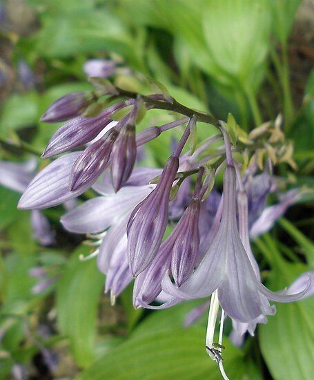 Purple Hostas by Orest Macina