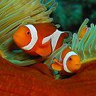 False Anemone Clownfish by James van den Broek