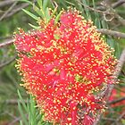 The red bottlebrush flower by EmmaS-P