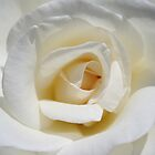 white rose cropped by paulv