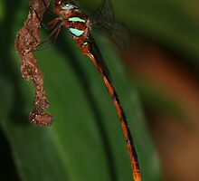 Ochre-tipped Darner by Norman Mueller