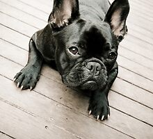 Enzo the French Bulldog by ruthlessphotos