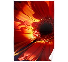 Gerberas.  Orange Delight. Poster