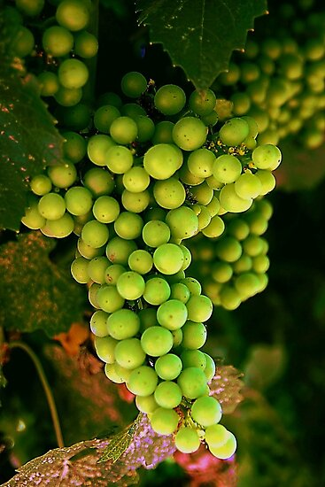 Chardonnay Grapes by Barbara  Brown