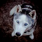 Ivan the Siberian Husky by ruthlessphotos