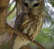 Saw-whet Owl by Tom Middleton