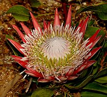 Protea VII by Tom Newman