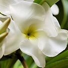 PLUMERIA - Tempelboom by Magaret Meintjes