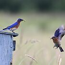 Eastern Bluebirds by Jim Cumming