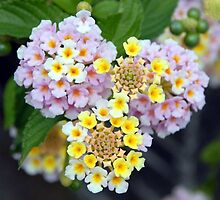 Lantana Macro in Lemon and Lilac by taiche