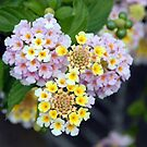 Tropical Plant Lantana Camara or West Indian Lantana by taiche
