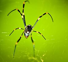 Nephila Edulis - Golden Orb Weaver by darrenmars