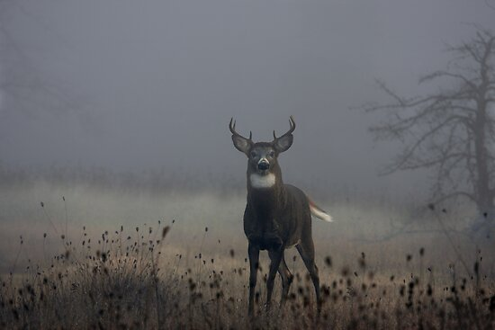 Big Buck - White-tailed Deer by Jim Cumming