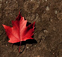 Maple Leaf on Granite by Matthew Schillerberg