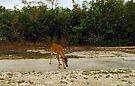 Key Deer 4 by Larry  Grayam