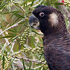 Mischief making black cockatoo in close up by georgieboy98