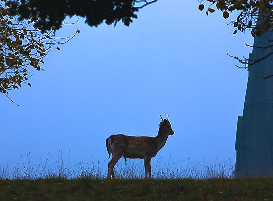 Fallow Deer #1 by Trevor Kersley