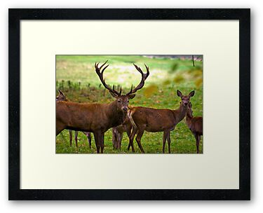 Stag & Does   (Red Deer) by Trevor Kersley