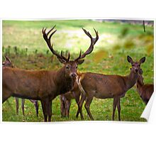 Stag & Does   (Red Deer) Poster