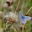 Common Blue butterfly on thistle by Tony4562