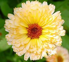 Beautiful Yellow Marigold Goldbloom Close Up by taiche
