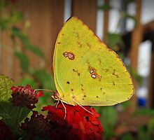 Cloudless Sulpher Butterfly by G. David Chafin