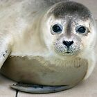 Baby seal by Kaleidoking