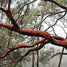 Tasmanian Gum by Harry Oldmeadow