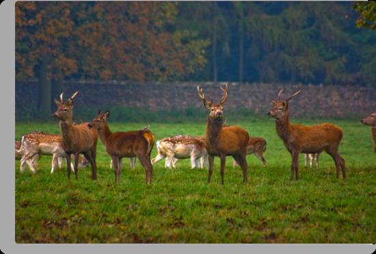 The Young Bucks  (Red Deer) by Trevor Kersley