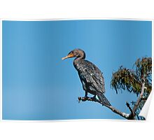 Cormorant on Cypress Branch Poster