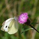 Large White by Tony4562