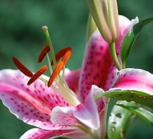 Giant Pink Lily by karmel