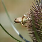 Grasshopper on Teasel by LOJOHA