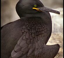 A Shag shielding its eggs from the sun. by Pagwag