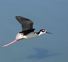 Black-necked Stilt in Flight by Wing Tong