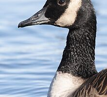 The Profile of a Cackling Goose by DigitallyStill