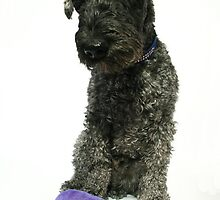 Kerry blue terrier by Juliangreenwood