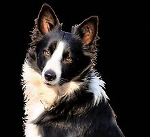 KLIPPIES, ONE OF MY SIX BORDERCOLLIES by Magaret Meintjes