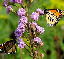 Minneopa Monarch by swaby